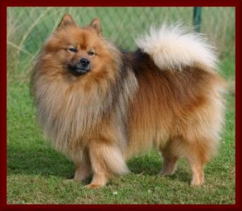 203c6ed9d847aa41c2df60f87cedb514--german-spitz-dog-german